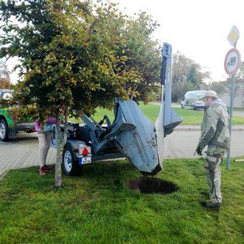 41 koka pārstādīšana Ventspilī